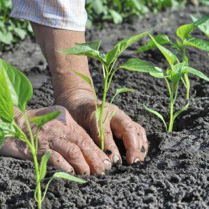 Main dans la terre avec plusieurs pousse de plantes jeunes autour.