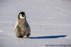Bébé pingouin levant la patte avec son ombre sur la banquise