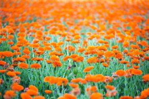 multitude de fleurs orange (des soucis)